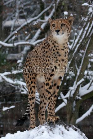 gepard im winter
