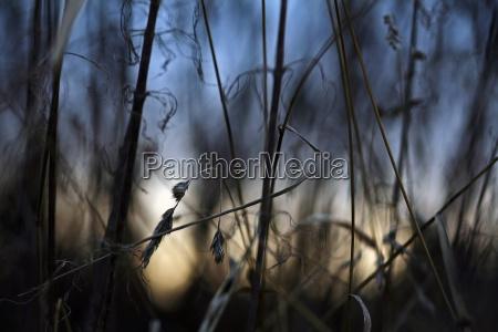 verdorrte graeser gegen den abendhimmel
