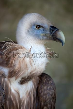 goose vultures