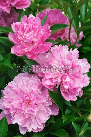 bouquet von frischen rosa pfingstrosen