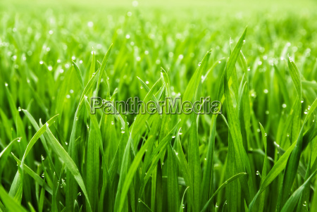 tall wet grass in closeup