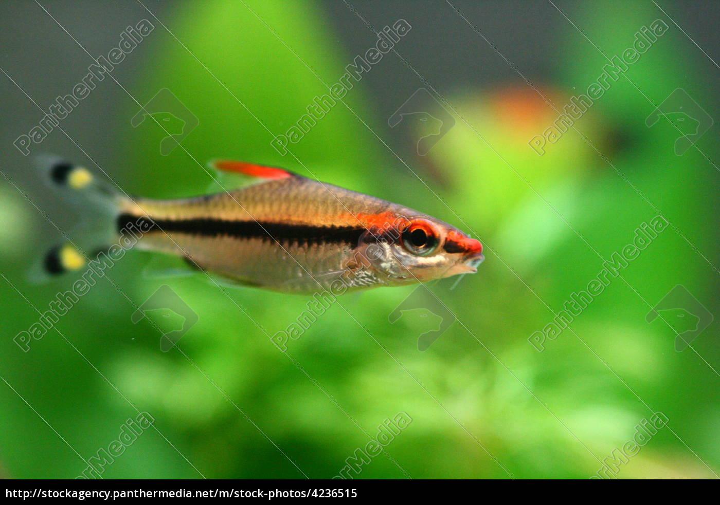 asien fisch asiatisch aquarium torpedo barbe lizenzfreies bild 4236515 bildagentur. Black Bedroom Furniture Sets. Home Design Ideas