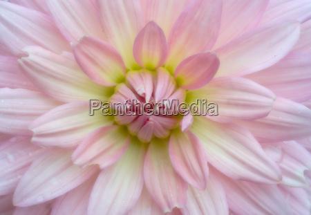 soft crysanthemum