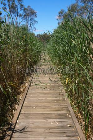 boardwalk in reeds