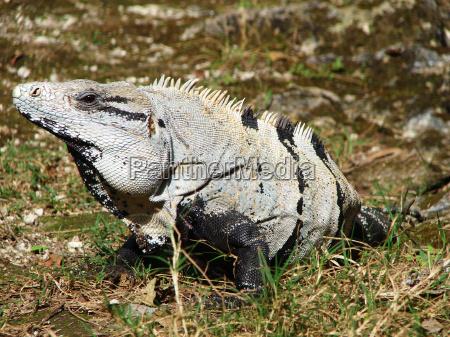 tier reptil eidechse frosch leguan natur
