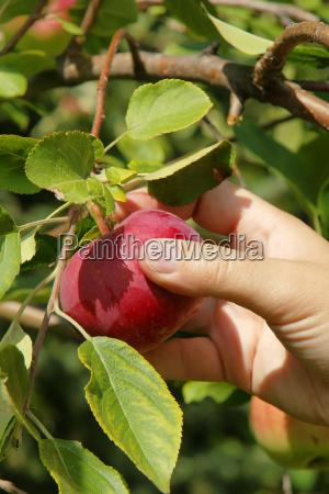 mano vertical recogiendo manzana de cerca