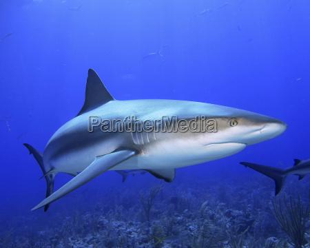 karibischer riffhai carcharhinus perezii