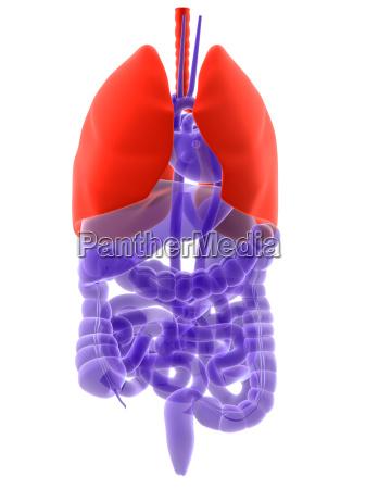 markierte lunge