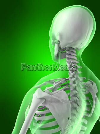 weibliche skelett zurueck