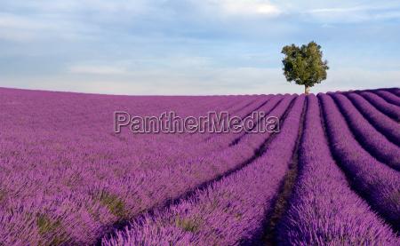 reichen lavendelfeld mit einem einsamen baum