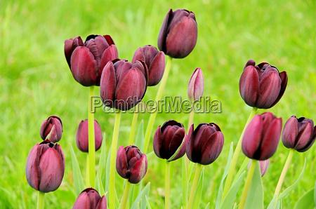 tulpe lila tulip purple 02