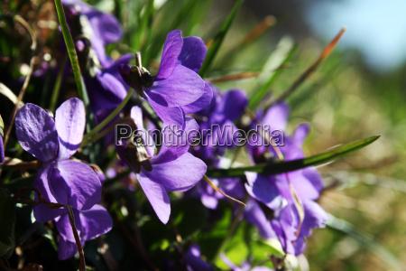 fragrant violets