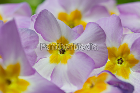 violet primroses