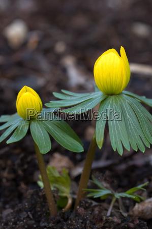 flowering winter aconite