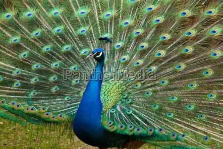 uccello ritratto uccelli piumaggio corona pavone