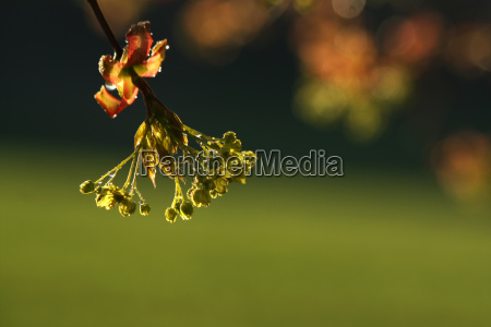 maple blossom with water drops