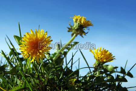 dandelion from the mole perspective