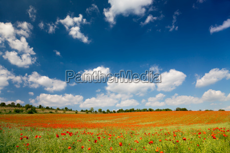 poppy flowers on a cornfield