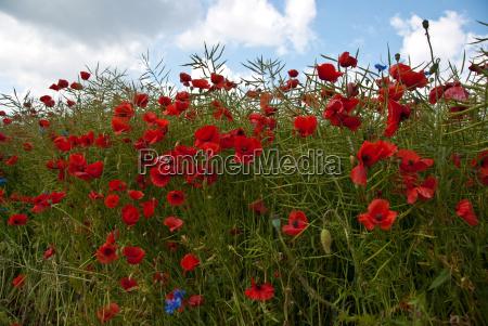 poppy field in early summer papaver