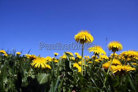 loewenzahn meadow