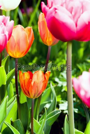 viele bunte tulpen v1