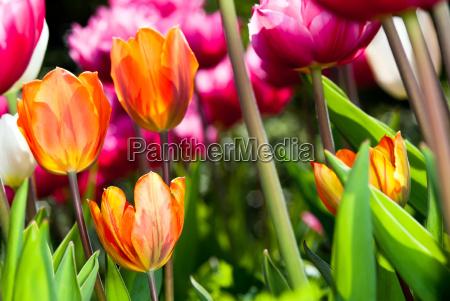 viele bunte tulpen v4
