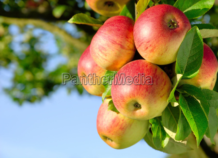 hard boiled colorful apples on the