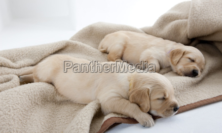 welpen von golden retriever schlafen