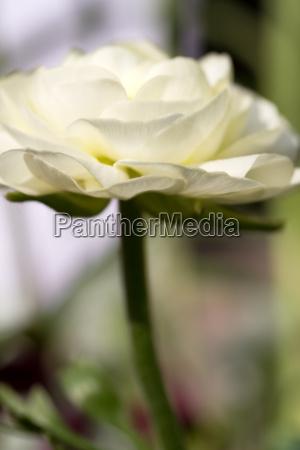 buttercup ranunculus asiaticus