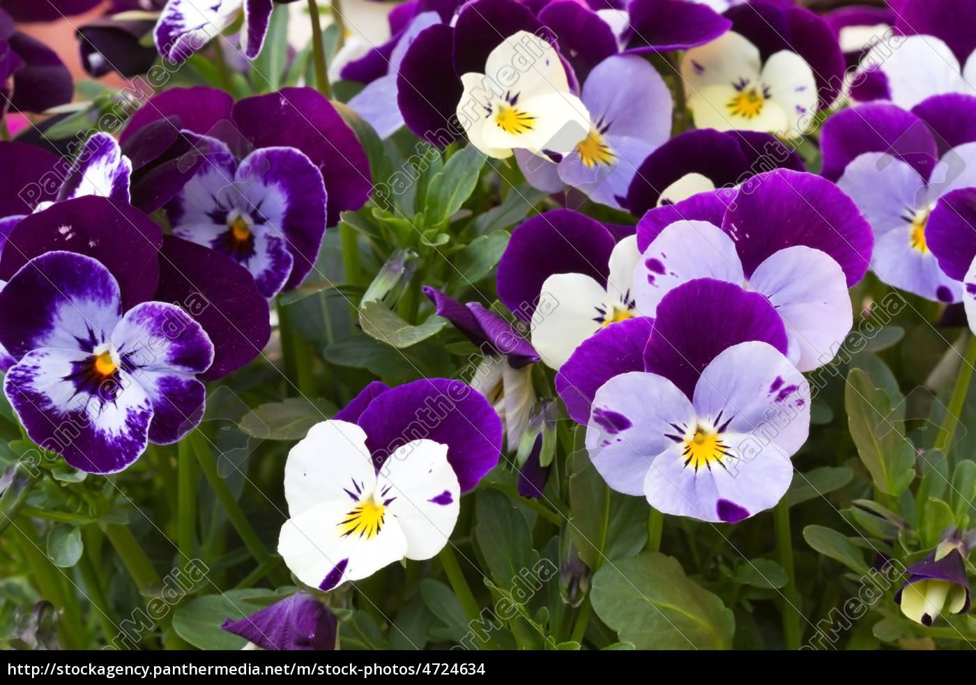 Hornveilchen viola cornuta stiefm tterchen stockfoto for Viola cornuta inverno
