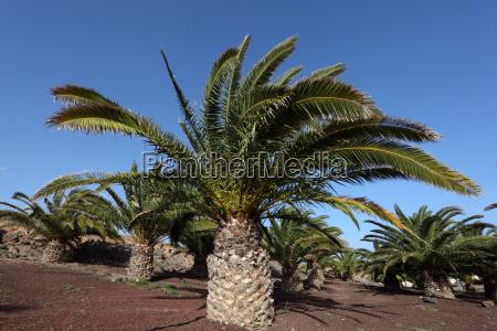 canary island date palm fuerteventura