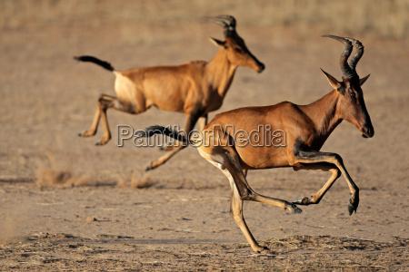 running red hartebeest