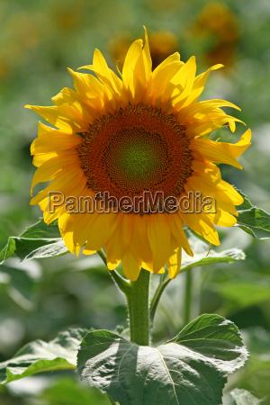 sonnenblume erneuerbare energien