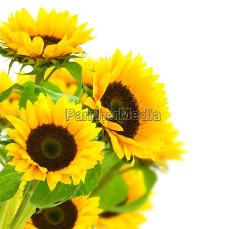 sonnenblumen grenze