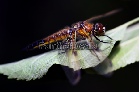 bunter vogel libellula quadrimaculata