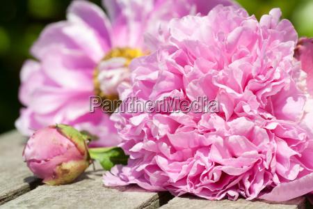 wedding rings and pink rose