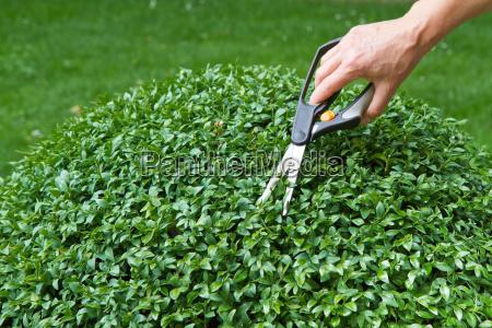 cut boxwood buxus sempervirens