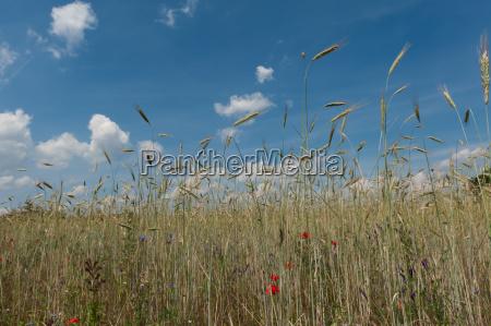 rye field under blue summer sky