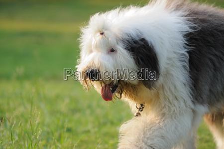 alter englischer schaeferhund