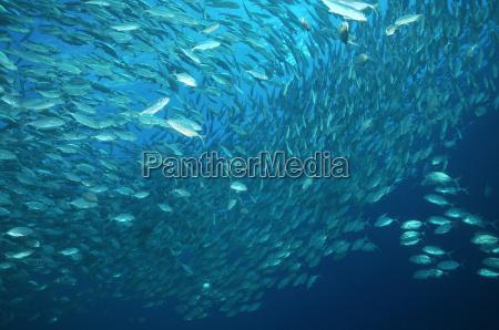 makrelen