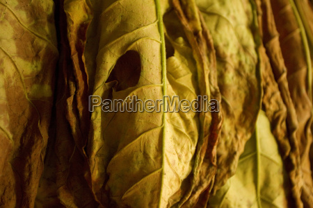 cuban cigars tobacco for drying