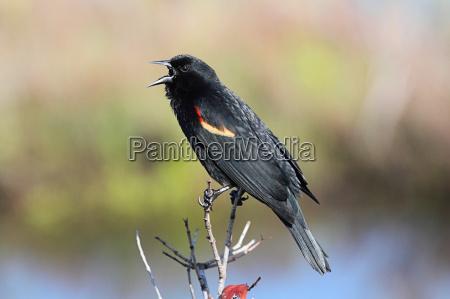vogel wild wildlife amsel natur