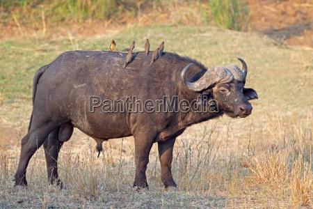 afrikanische bueffel stier