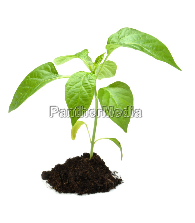 young plant in dark soil isolated