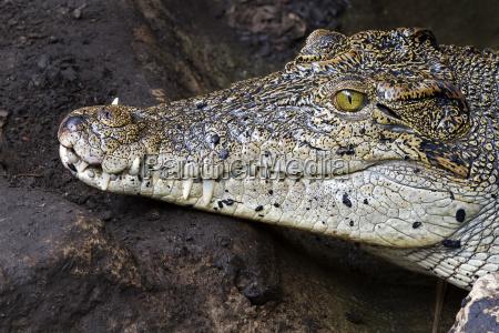 krokodilzaehne und detail des auges semi