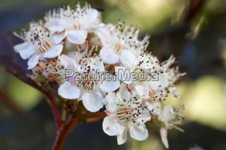flowering devils tide physocarpus opulifolius