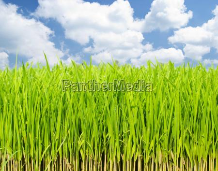 wachsende frisches gras