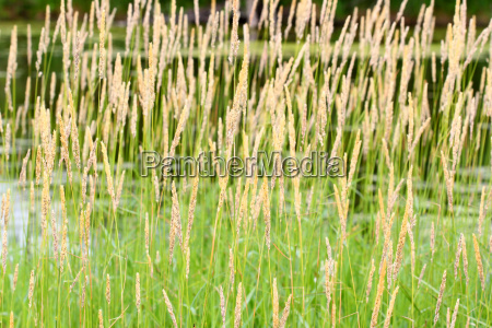 kanarienvogel vegetation schilfrohr schilf kanarisch wiese