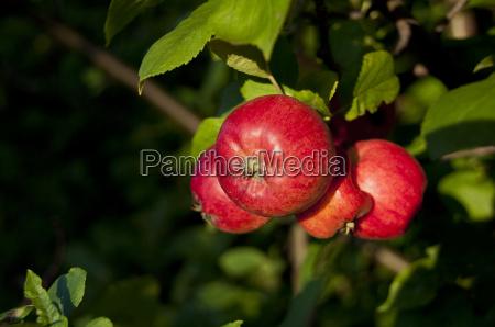 aepfel 1