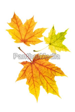 three beautiful colorful maple leaves